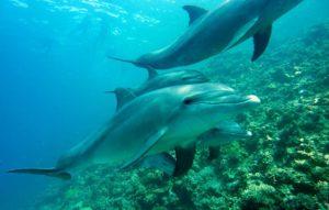 Bild: Hintergrundbild für Daniela Lasinger, Laraya Surayati: Im Meer frei schwimmende Delfine